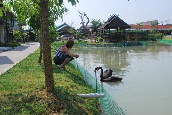 Jintana Resort Hotel: Resort lake and the pagoda in the lake & Black swans