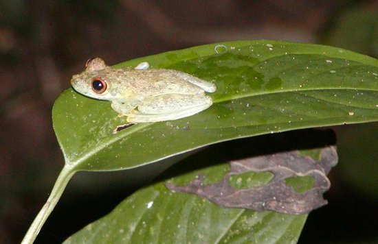 Wasai Tambopata Lodge: Tree frog.