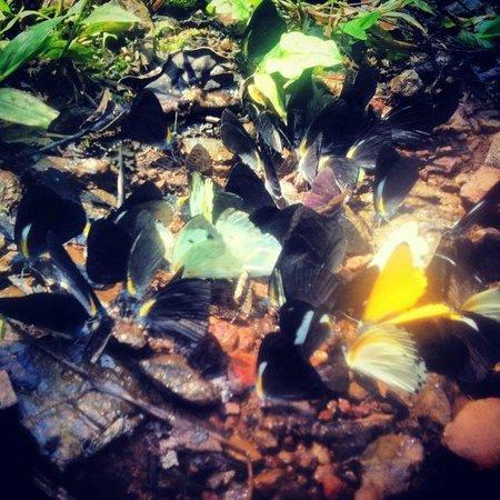 Nkuringo Bwindi Gorilla Lodge: Butterflies blending with the fallen leaves - on the waterfall hike