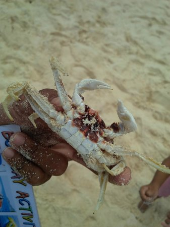 Yapak Beach (Puka Shell Beach): crab