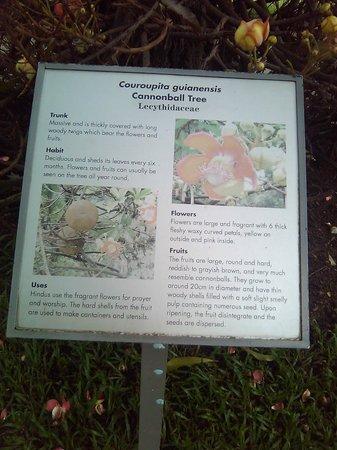 Esplanade Park: cannon ball tree information