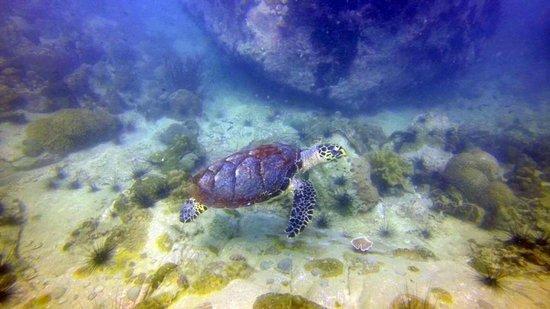 Mermaids Dive Center Pattaya: Turtle at Koh Man Wichai