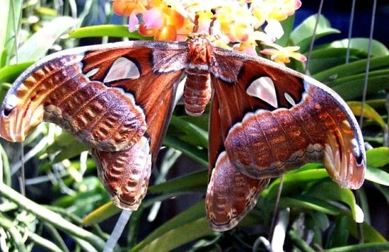 Phuket Orchid Farm: We also saw this giant butterfly