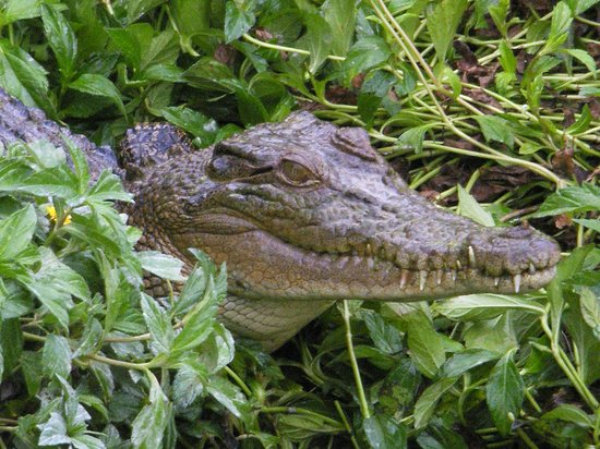 Daintree Wild Bed and Breakfast: One of the more permanent 'guests'....