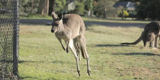 Pinnacle Holiday Lodge: Kangaroo jumping around next to the Tennis court