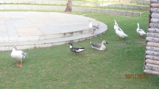 The Windflower Resort & Spa, Mysore : The Cute ducks