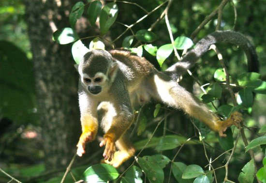 Ile du Diable, Guyana Francese: Devil's island jumping monkey!