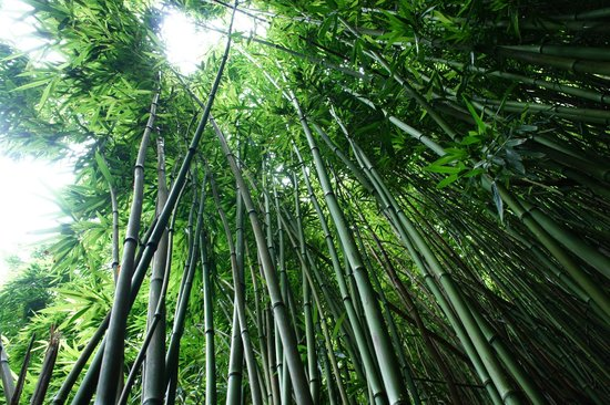Pipiwai Trail: Bamboo Forest - amazing how tall these are