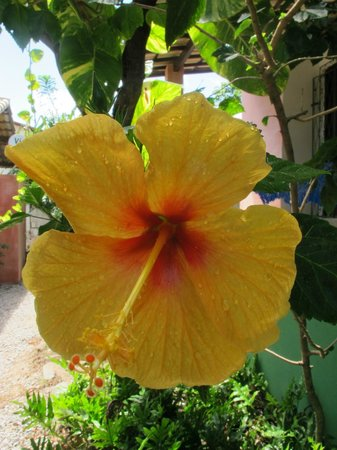 Stay Cool Bungalow: Ibisco laranja