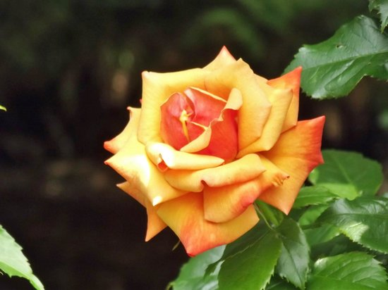 Isle of Arran Heritage Museum: Lovely Rose in the Museum gardens.