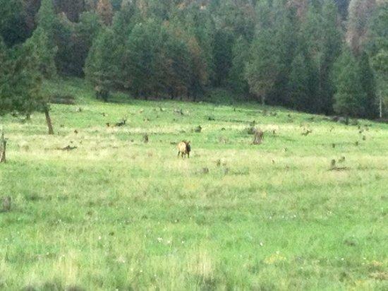 Valles Caldera National Preserve: Elk herd leader