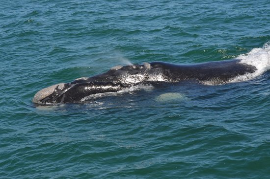 Southern Right Charters : One of the Southern Right whales we saw during our two-hour tour