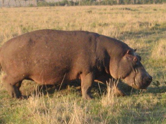Governor's Camp: Hippo