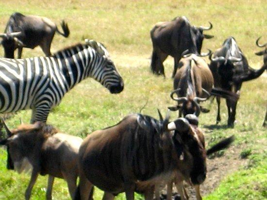 Governor's Camp: Wildebeest and Zebra