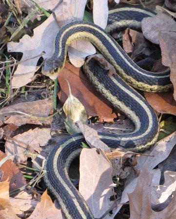 Murphy-Hanrehan Park Reserve: Snake alongside trail