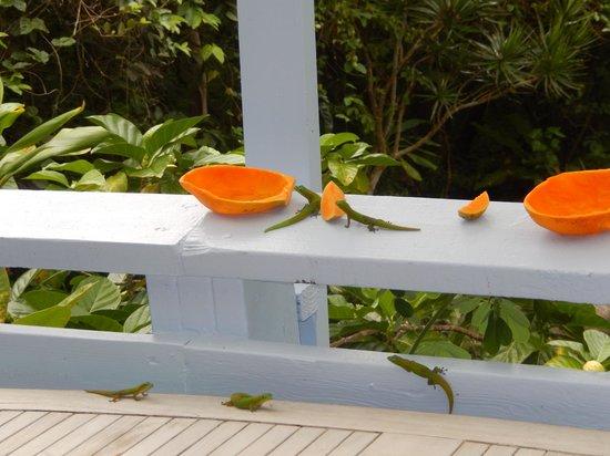Ma'ukele Lodge: Geckos at breakfast