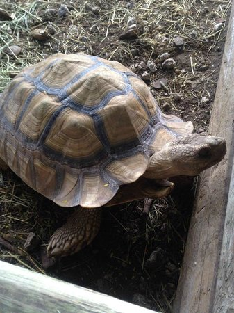 Gulf View Waterfront Resort: On site tortoise