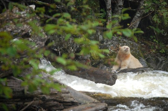 Spirit Bear Lodge : The Spirit Bear