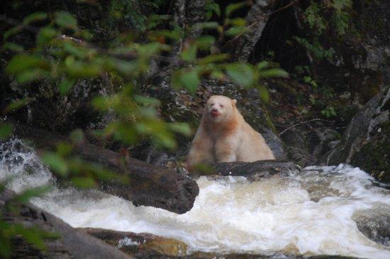 Spirit Bear Lodge : Spirit Bear eating Salmon