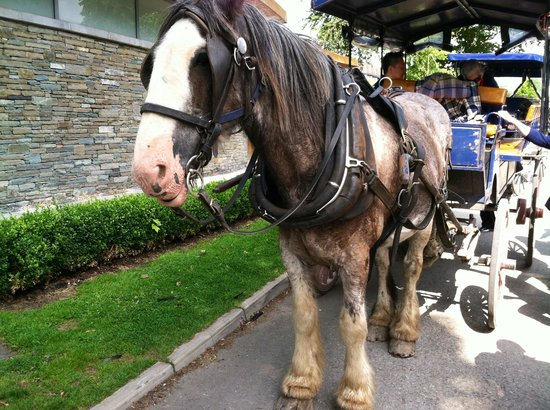 Killarney Plaza Hotel and Spa: A jaunting car horse who led us through Killarney's beautiful park and to Ross Castle.