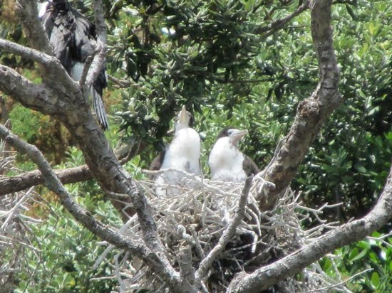 Hahei Explorer Cathedral Cove Boat Tour: Baby seabirds