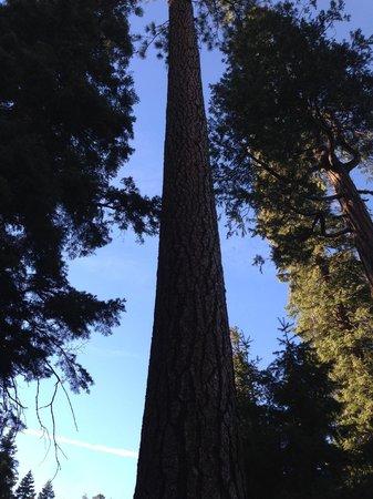 Trinity Alps: Lodgepole pine