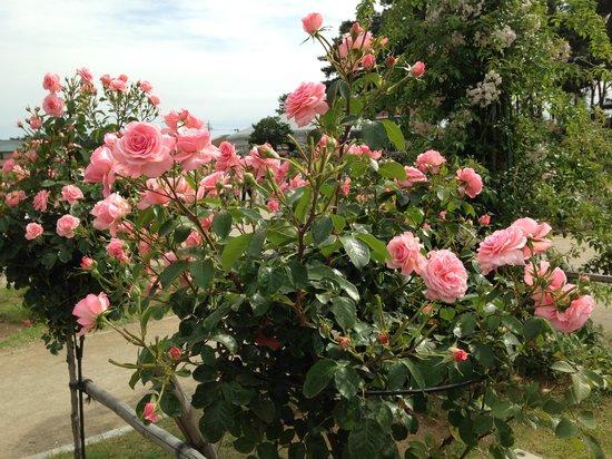Shikishima Parfk Rose Garden