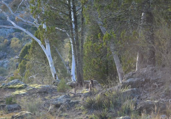 Cooma, Australien: A friend wallaby