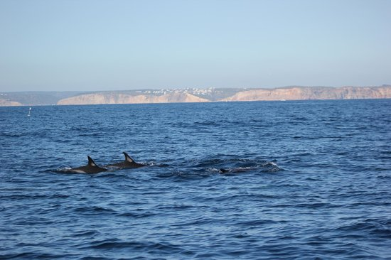 Cape Cruiser: dolphins