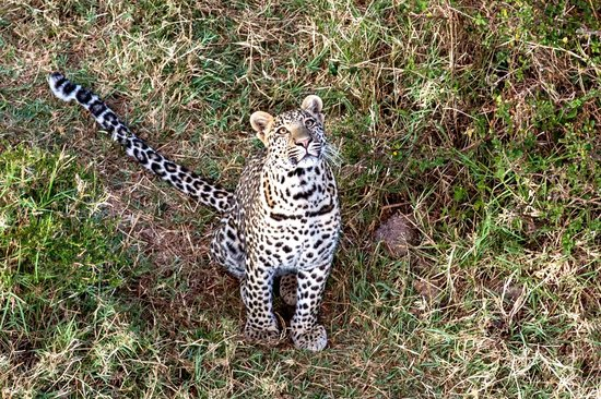 Governors' Balloon Safaris: Leopard
