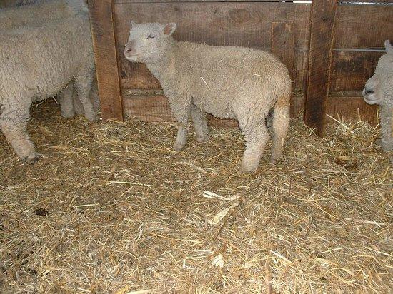 Oliver Kelley Farm: baby sheep
