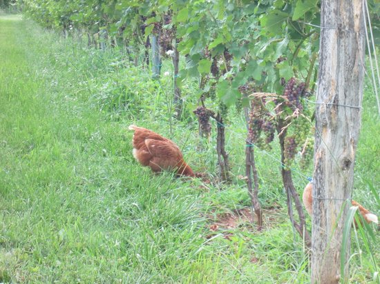 "One of the ""ladies"" over from the house checking the vines at Stinson Vineyards"