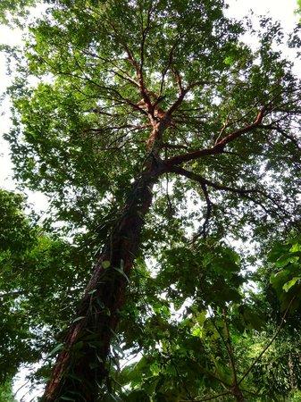 Tropical Spice Garden: ? Tree