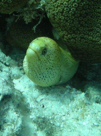 Divi Flamingo Beach Resort and Casino : Tons of eels