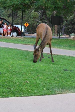 Thunderbird Lodge: Elk outside the lodge