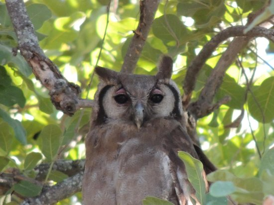 andBeyond Nxabega Okavango Tented Camp : The wise Owl