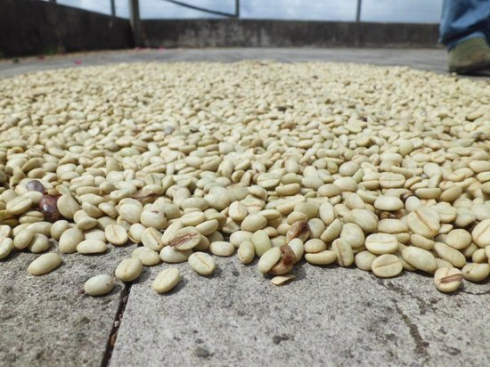 Cafe Las Flores: Coffee beans drying in the sun