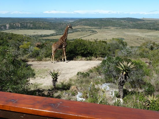 Kariega Game Reserve - Ukhozi Lodge: view from our lodge -nyes, that is a real giraffe!