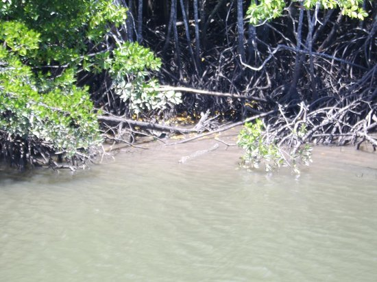 Cairns Harbour Cruises : look carefully to see the young female crocodile lazying in the shallow waters