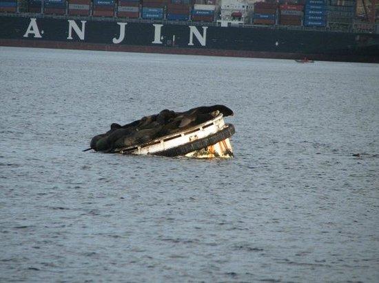 Argosy Cruises - Seattle Waterfront : Sea Lions on a float