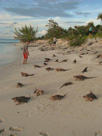 Exuma Water Tours: Iguanas