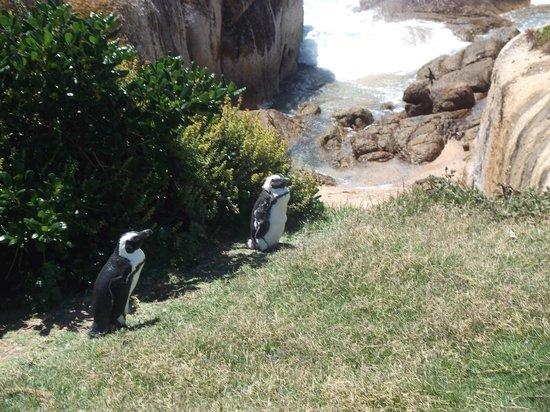 Go Cape Tours: Penguins!