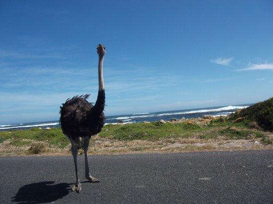 Go Cape Tours: Ostrich on nthe beach!