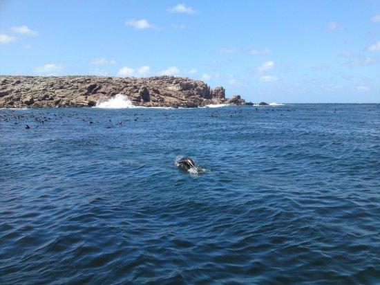 Isla de Lobos: Lobos nadando
