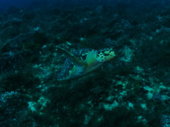 Eagle Ray Divers: Sea Turtles everywhere.