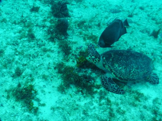Eagle Ray Divers: More sea turtles.
