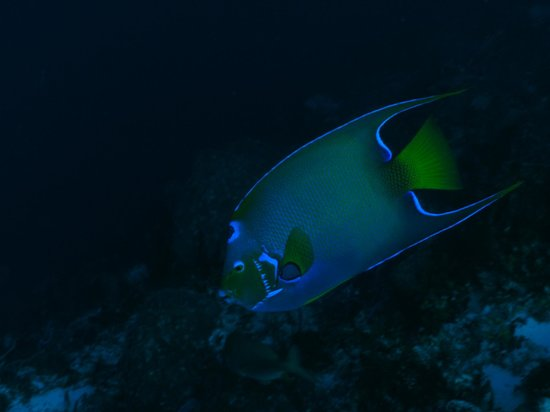 Eagle Ray Divers: Queen Angel fish during twilight dive.