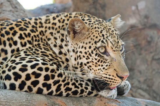Flatdogs Camp : One of many leopard sightings