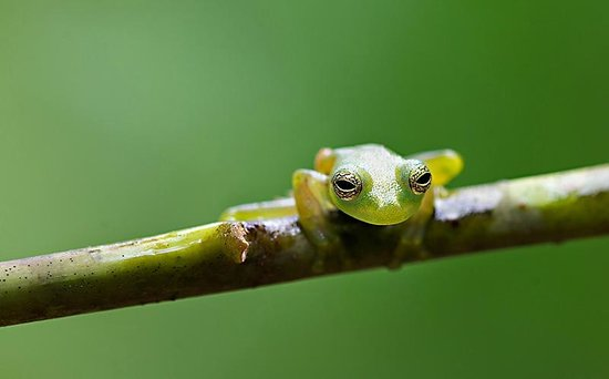 Frogs Heaven: Glass Frog