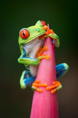Frogs Heaven: red-eyed tree frog